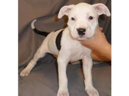 american pitbull terrier white with black spots american pit bull terrier puppies in new jersey