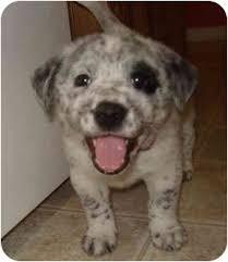 australian shepherd dalmatian mix cate blanchett adopted puppy callahan fl australian