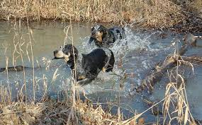 names for a bluetick coonhound blue tick coon hounds u003c3 i will name them dixon and dixie