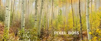 independence pass aspen mist 1 pixel boss ultra high aspen trees in the mist during fall colors colorado