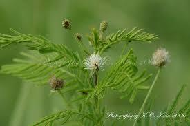 prairie moon nursery desmanthus illinoensis illinois bundle flower prairie moon nursery