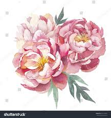 watercolor peonies bouquet isolated on white stock illustration
