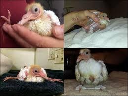 hola como puedo hacer unas alas de pato para nia de 4 entablillar la pata de un pájaro
