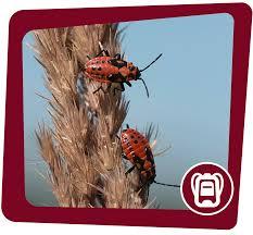 wanzen nabu insekten und spinnentiere najuversum die neue plattform