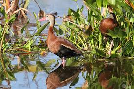 flock of black bellied whistling ducks dendrocygna autumnalis