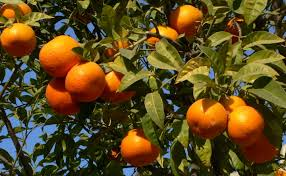 4 foot orange or mandarin tree the gods child project