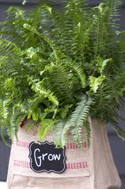 when to feed fern houseplants what u0027s the best fertilizer for
