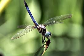 blue dasher wikipedia