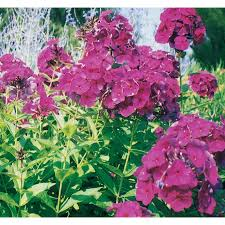 garden phlox home outdoor decoration