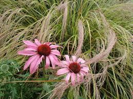 80 best ornamental grasses and herbaceous perennials images on