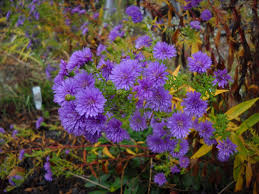 design real life garden solutions fall asters idolza