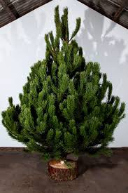 How Much Are Real Christmas Trees - where to buy real christmas trees in and around edinburgh the list