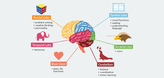 Role Of Brain Stem Main Parts Of The Human Brain And Subdivisions Of Human Brain Parts