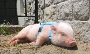 how to put a harness on a mini pig life with a mini pig