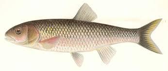 file fmib 43100 fall fish or silvewr chub semotilus bularis