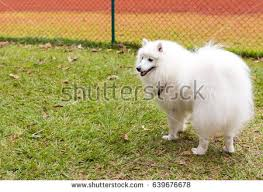 american eskimo dog growling samoyed dog jumping through hoop stock photo 117186370 shutterstock