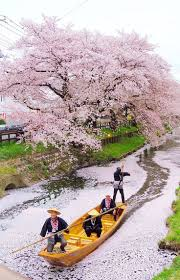 cherry blossom tree 25 trending cherry blossoms ideas on pinterest cherry blossom