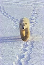 دب القطب الشمالي معلومات وصور فيديو Images?q=tbn:ANd9GcQAyXieZKT2BkPm_NAT1JAcDTk3f6_03iJ4vlVJYM-VurWuWFu6