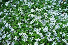 vine or groundcover from romence gardens