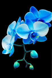blue orchid flower blue orchids flowers can feel your energy one time i cried