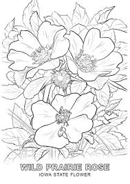 delaware state flower iowa state flower coloring page free printable pages on coloring