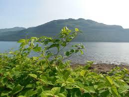 invasive non native plants invasive species trust in the park loch lomond and the