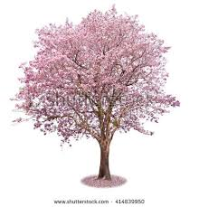 blossom tree stock images royalty free images vectors