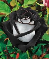 Cheap Flower Seeds - 2017 ombre black red and white rose flower seeds 100 seeds