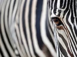 pattern formation zebra turing patterns feature chemistry world