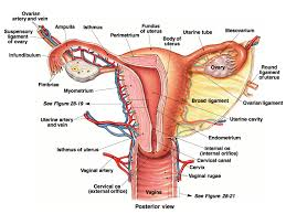 The Anatomy Of The Male Reproductive System Reproductive System Archives Page 2 Of 10 Human Anatomy Chart