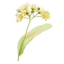 linden flower linden flower clip vector images illustrations istock