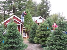 marin and sonoma counties california christmas tree farms choose