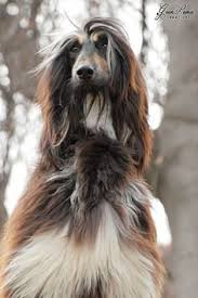 does an afghan hound shed photography by mirjanper on deviantart afghan hound pinterest