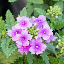 verbena flower understanding verbena differences a guide to different types of