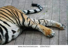 tiger legged stock images royalty free images vectors