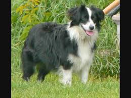 images of australian shepherd mini