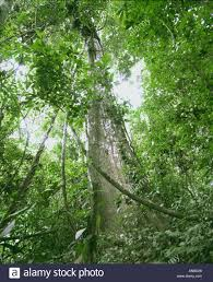 canopy amazon looking up through rainforest canopy in amazon jungle north peru