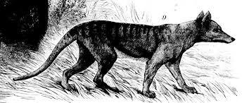 thylacine tasmanian tiger sketches from the 19th century album