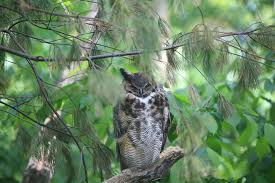 owl free stock photo an owl in tree 11743