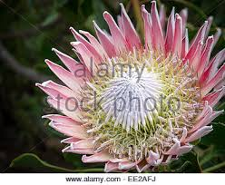 Protea Flower South Africa - protea in flower at kirstenbosch national botanical garden cape