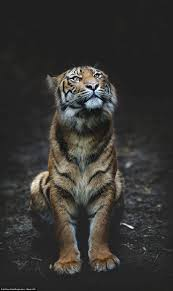 Home Interior Tiger Picture by Best 25 Tigers Ideas On Pinterest Big Tiger Tigers In The Wild