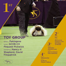 affenpinscher won westminster central pa dog wins best of toy group at westminster pennlive com