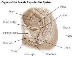 Female Anatomy Image Anatomy Of The Female Reproductive System