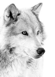 grey wolf profile photograph by athena mckinzie
