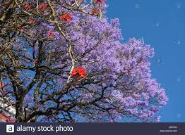 Tree With Purple Flowers Jacaranda Tree With Purple Flowers And Red Erythrina Tree