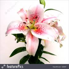 asian lilies picture of asian flower up
