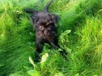 affenpinscher arizona find dog u0026 cat breeders near you