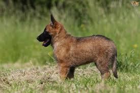 belgian sheepdog traits belgian shepherd dog dog breed information buying advice photos