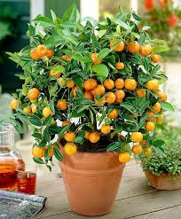 citrus calamondin orange tree on trellis