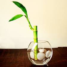 Bamboo Wall Vase Lucky Bamboo Shoot Plant In A Vase Lucky Bamboo Lucky Bamboo